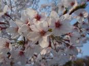 Sakura_014