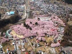 Ujisakura2_053