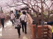 Ujisakura2_078