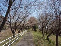 Sakura405_003