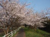Sakura_2009
