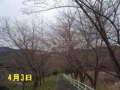 Sakura403_1