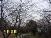 Sakura403_2