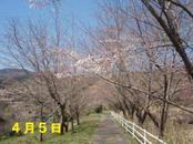 Sakura405_001