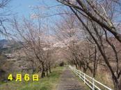 Sakura406