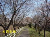 Sakura406_1