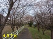 Sakura407_025