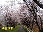 Sakura409_001
