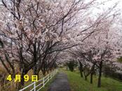 Sakura409_002