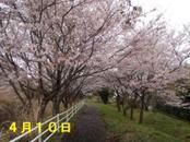 Sakura410_003