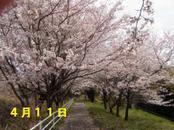 Sakura411_002