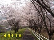 Sakura411_003