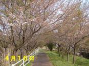 Sakura416_005