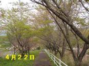 Sakura422_001