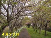 Sakura422_002