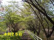 Sakura425_001