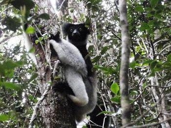 Indri2